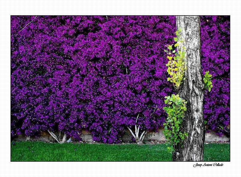 Xop i heura - Poplar and ivy