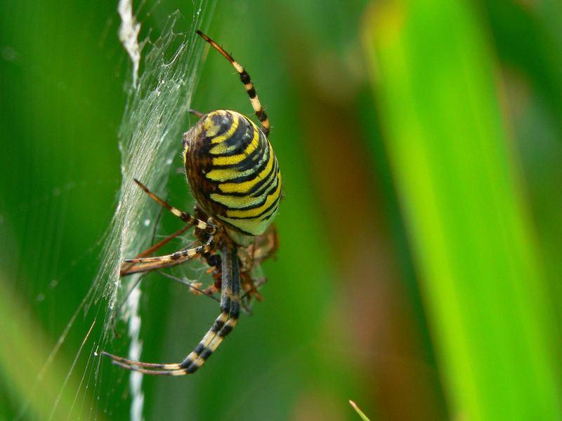 Xxxl foto bild tiere wildlife spinnen bilder for Bilder xxxl