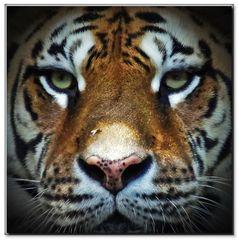 Y comme ....les yeux du tigre....