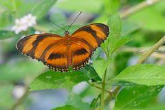 Yadula phaetusa, Banded Orange oder Orange Tiger