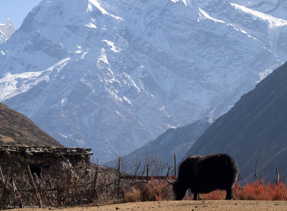 Yak in Yak Kharka (4018m)