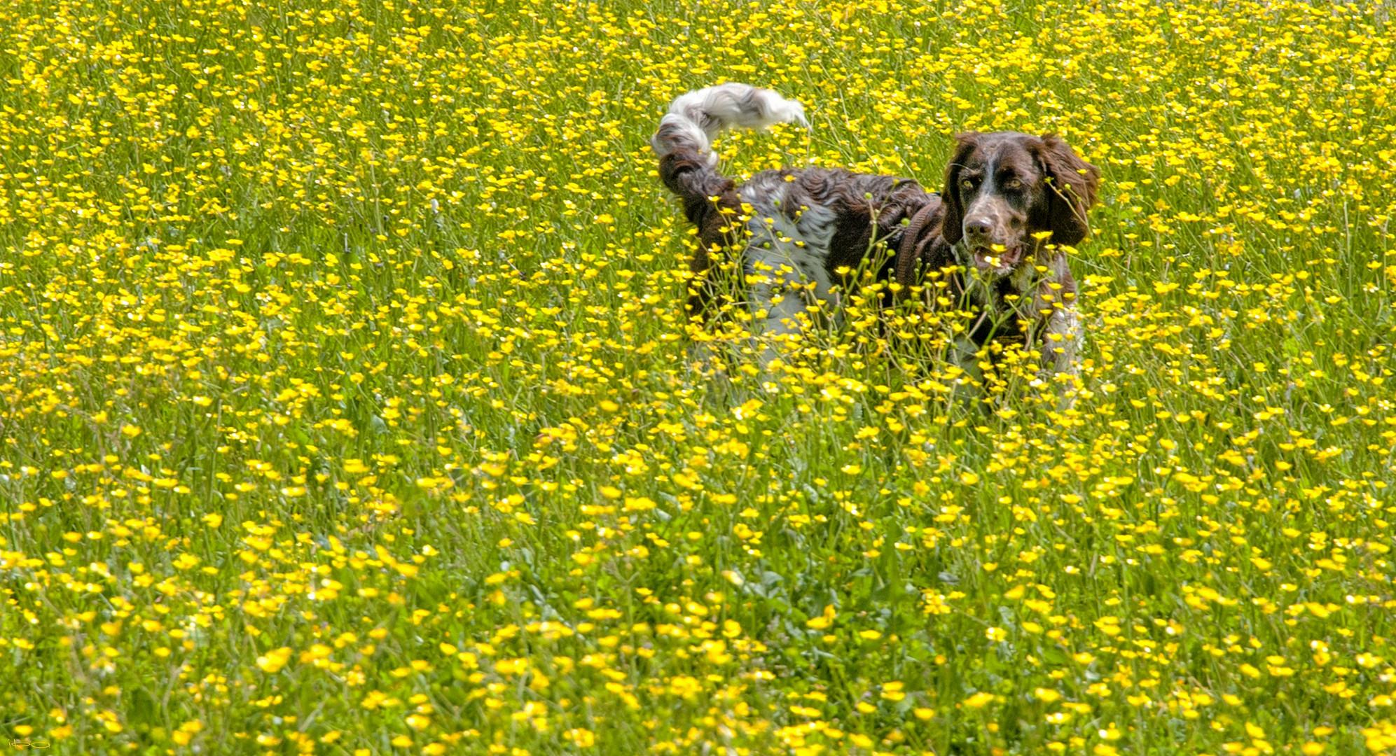 Yamuna im gelben Blütenmeer