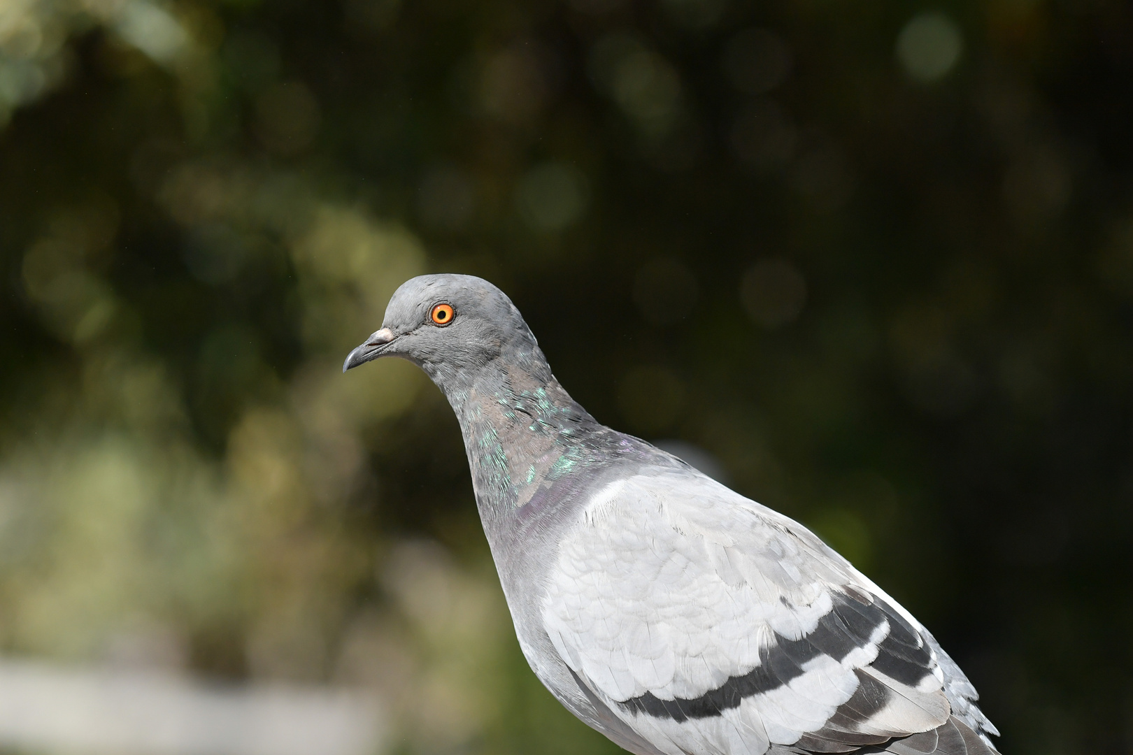 Yankee Doodle,il piccione viaggiatore