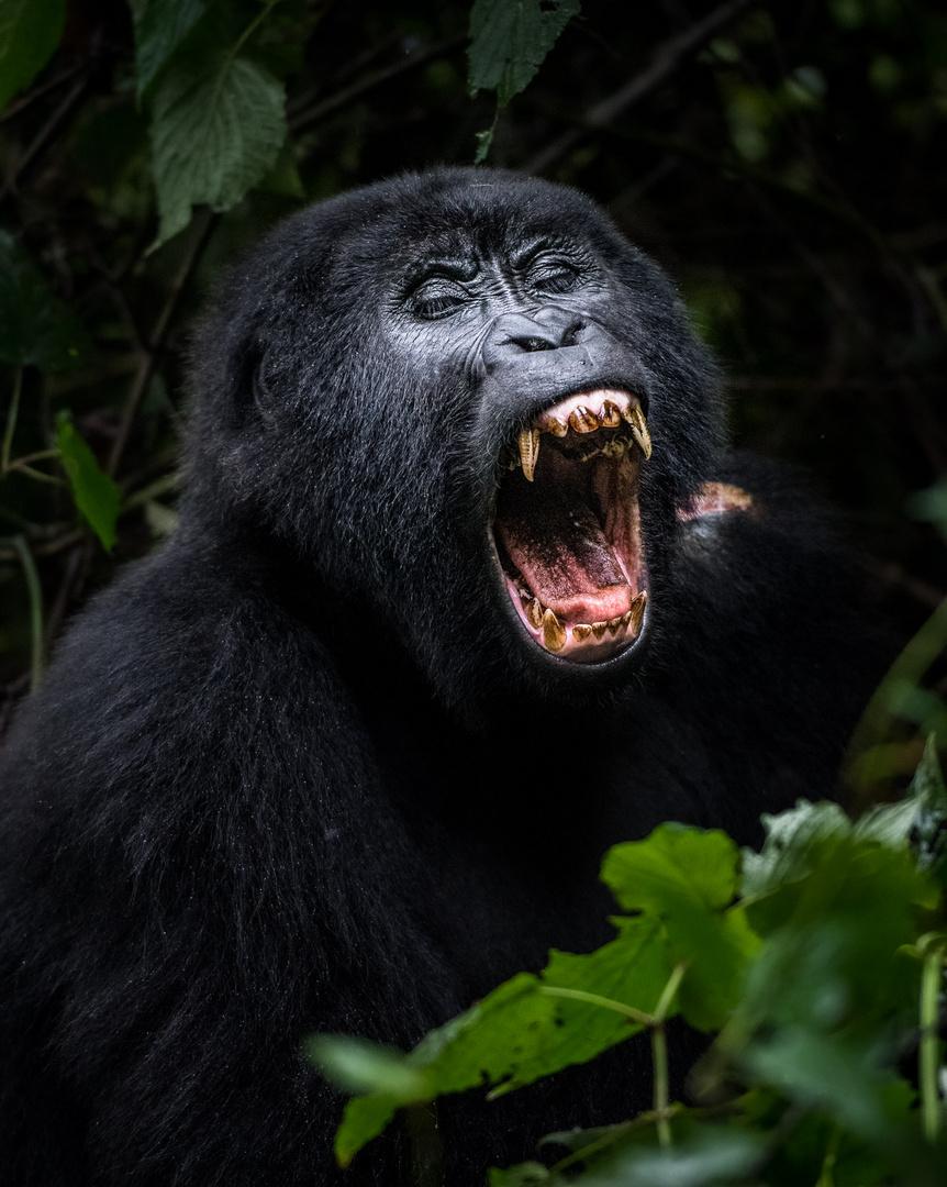 yawning gorilla in Bwindi Impenetrable National Park, Uganda
