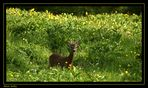 Yearling.