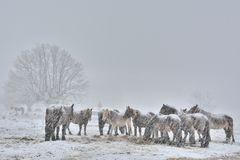 Yeguas en la nevada