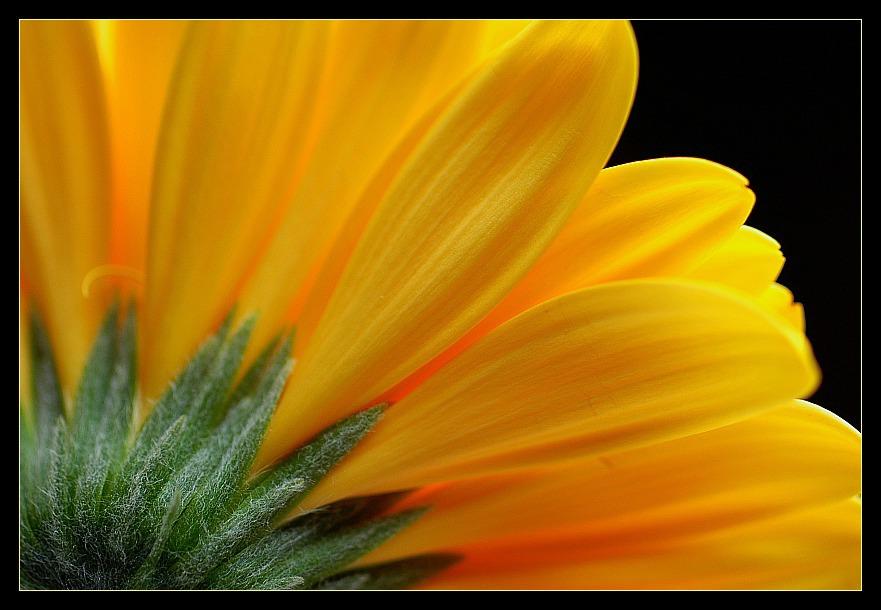 ... yellow beauty III ...