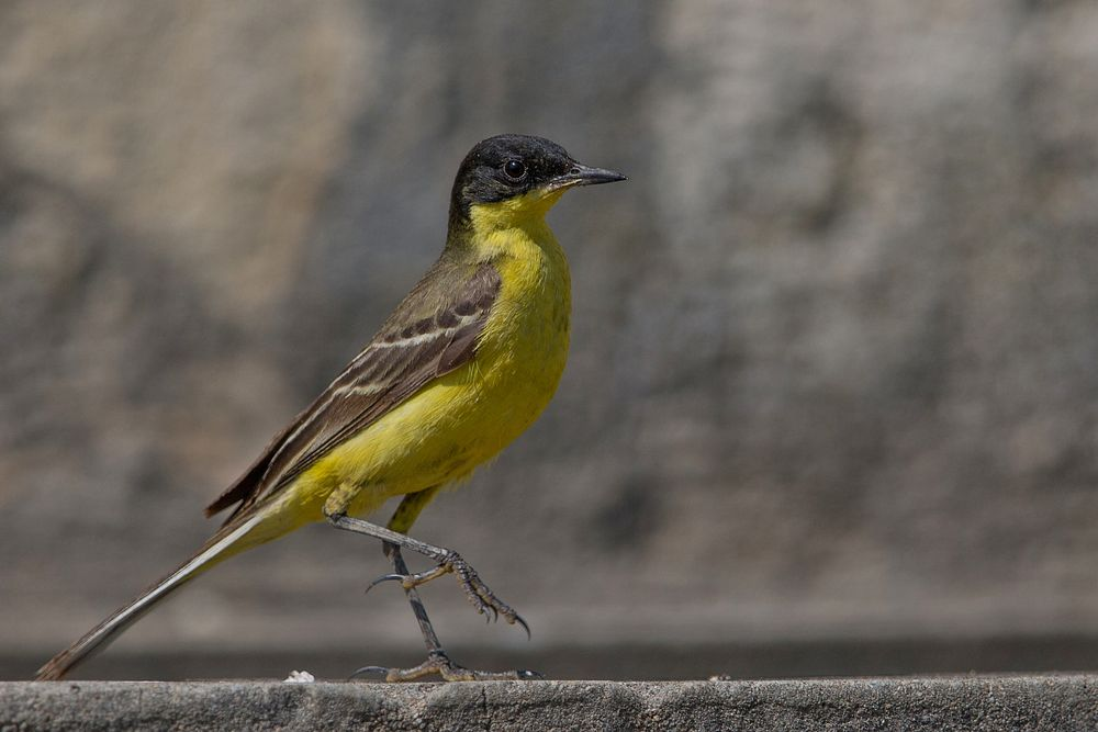 Yellow blackhaed wagtail