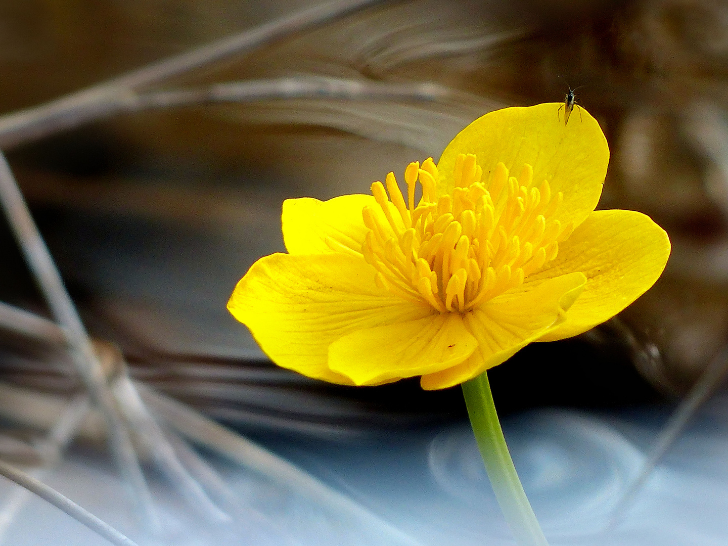 Yellow Caltha flower in pond water close up