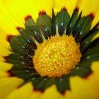 yellow center