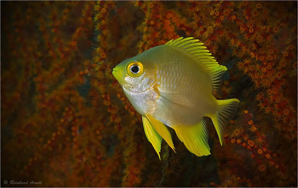 Yellow chromis