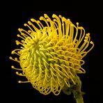 Yellow Cordifolio
