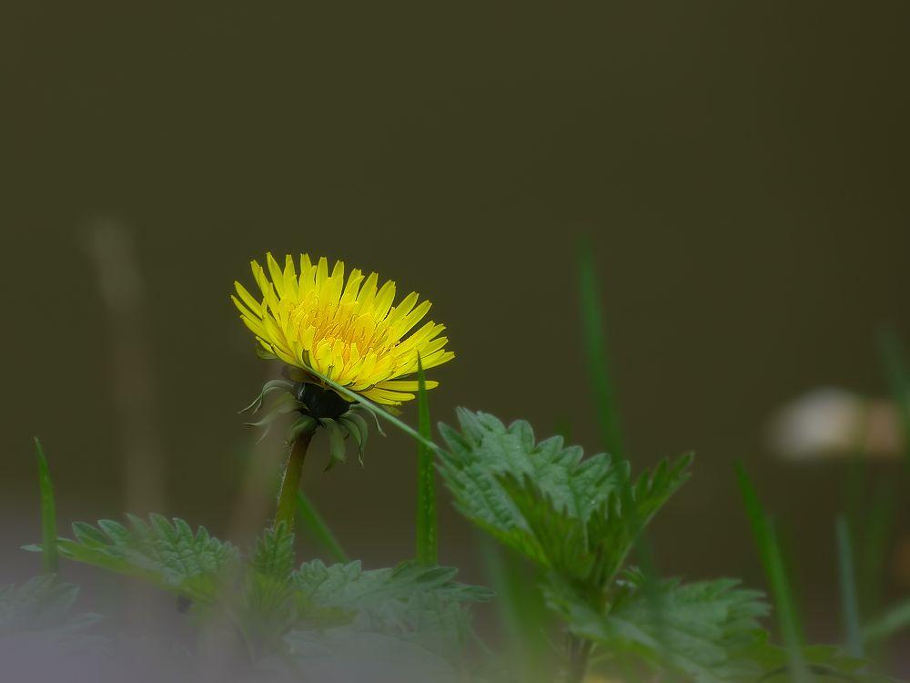 Yellow dandelion on a background of dark water