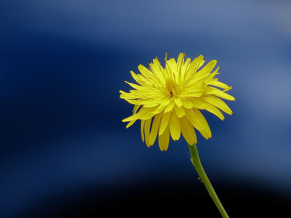 Yellow dandelion on a blue background