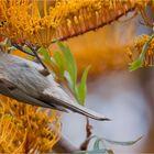 Yellow-faced honeyeater