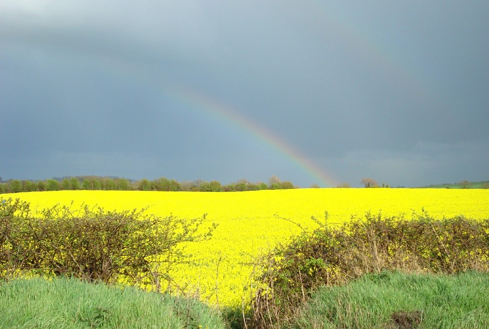 Yellow fields, Dunleer, Ireland