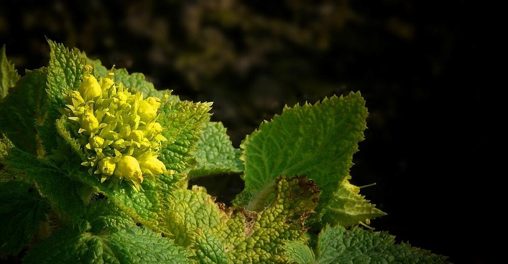 Yellow Figwort