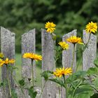 Yellow flowers , grey fence and green forest.
