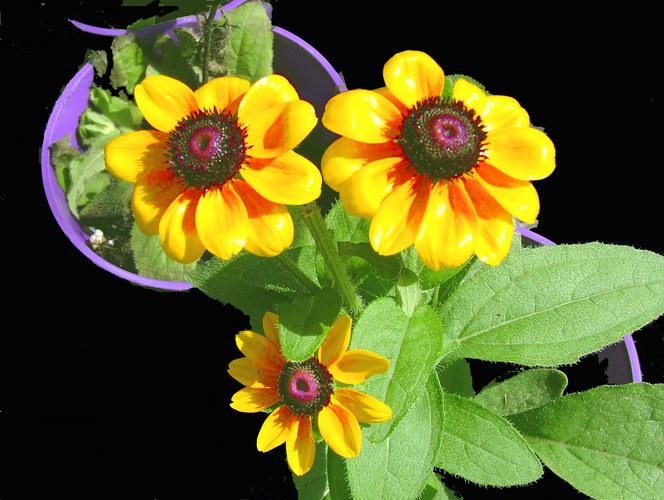 Yellow flowers in Purple pots