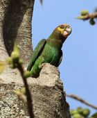 Yellow-fronted Parrot - Schoapapagei