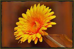 Yellow Gerbera