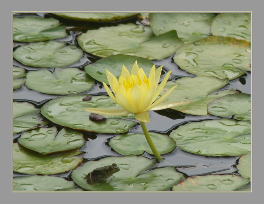 Yellow Lotus with Bonus