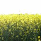 yellow, mellow field