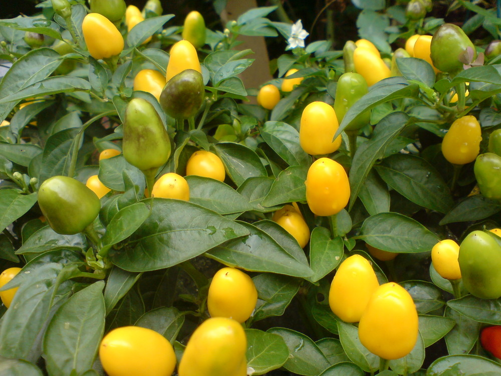 Yellow peppers (Pimentas amarelas)