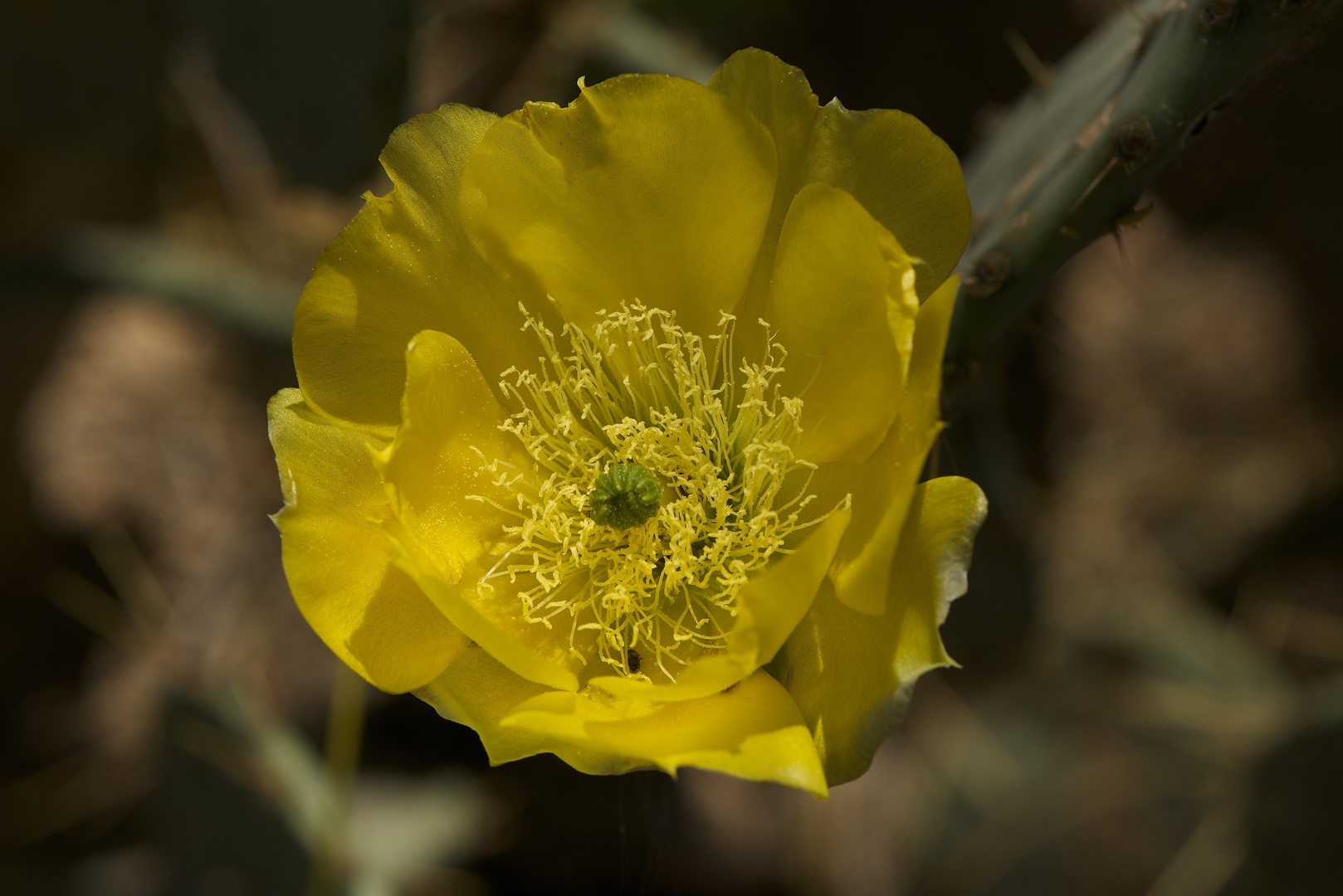 Yellow Prickly Pear.