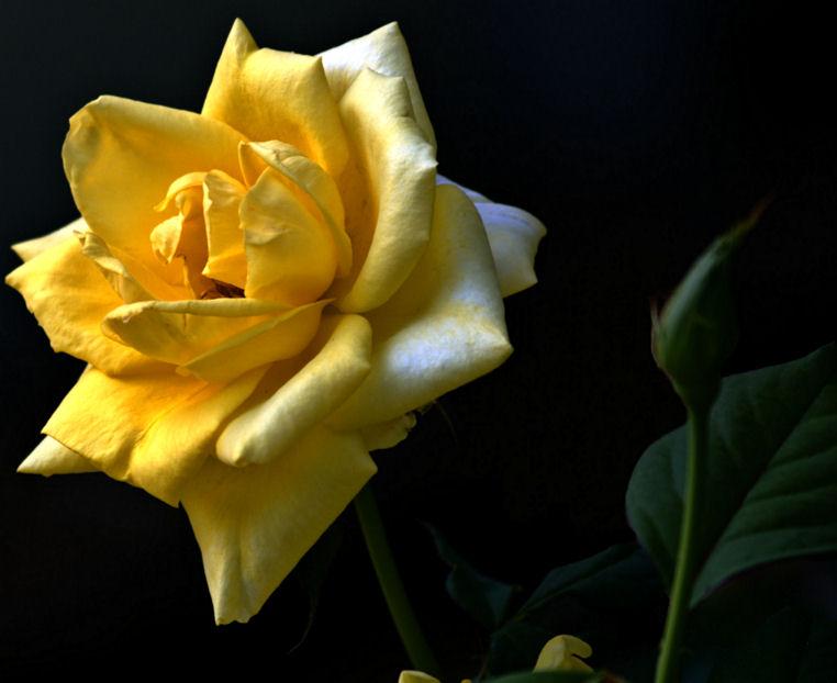 Yellow Rose of Texas 2