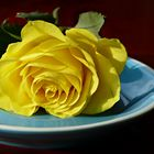 Yellow rose on turquoise saucer