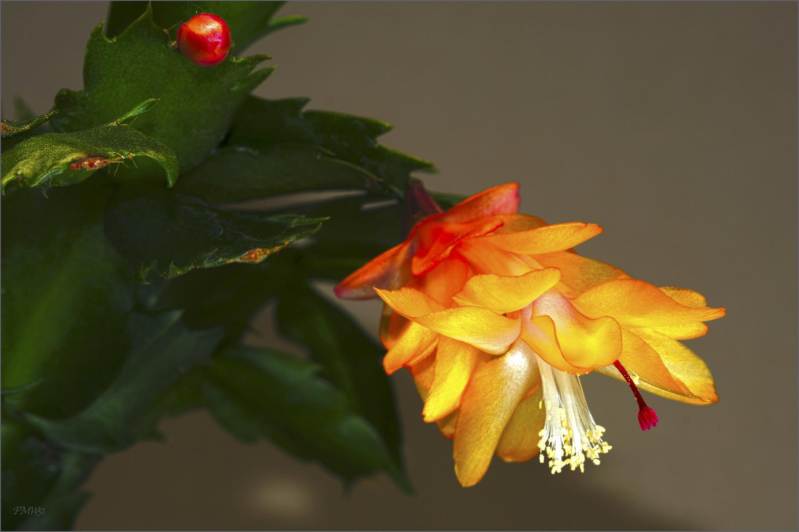 Yellow Schlumberga Bloom
