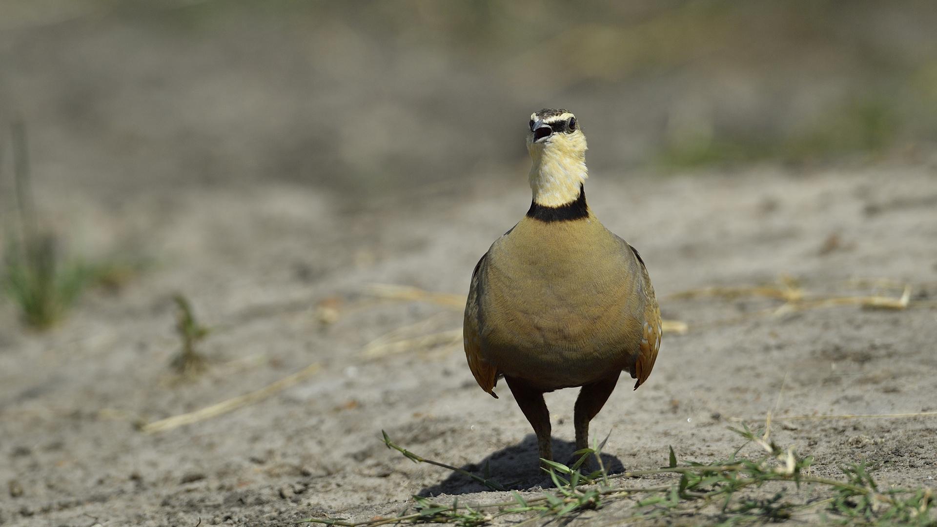 Yellow-throated Sandgrouse