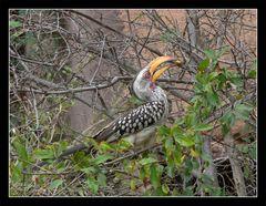 Yellowbilled Hornbill