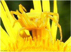 Yellowkiller