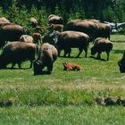 Yellowstone 2001 Bison 02