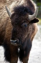 Yellowstone 2011/6