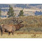 Yellowstone - Wapiti (Rothirsch)