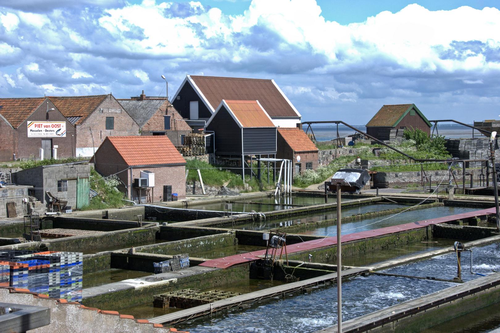 Yerseke - Mussel Farm - 1
