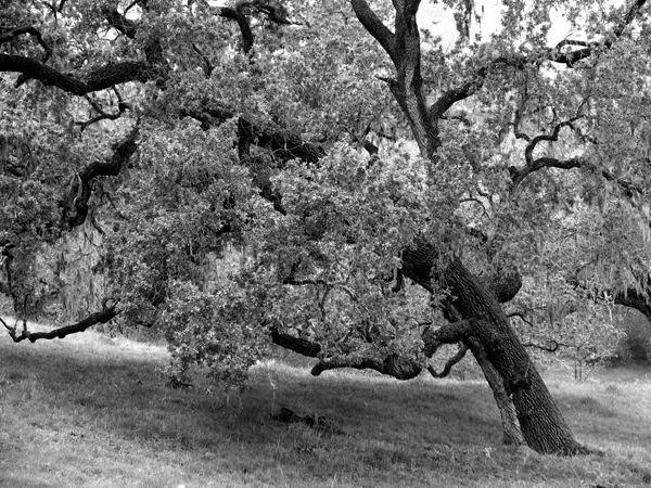 Ynez Oak In Green bw