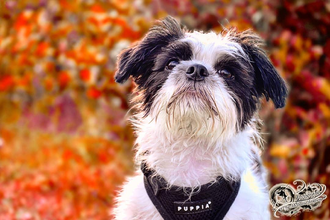 Yorkshire Jack Russel Terrier Shih Tzu Mix Foto Bild Tiere