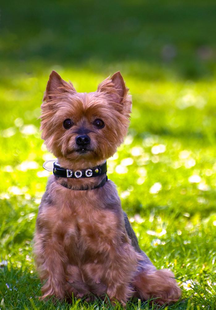 Yorkshire Terrier Daisy Birthday Portrait Foto Bild Tiere