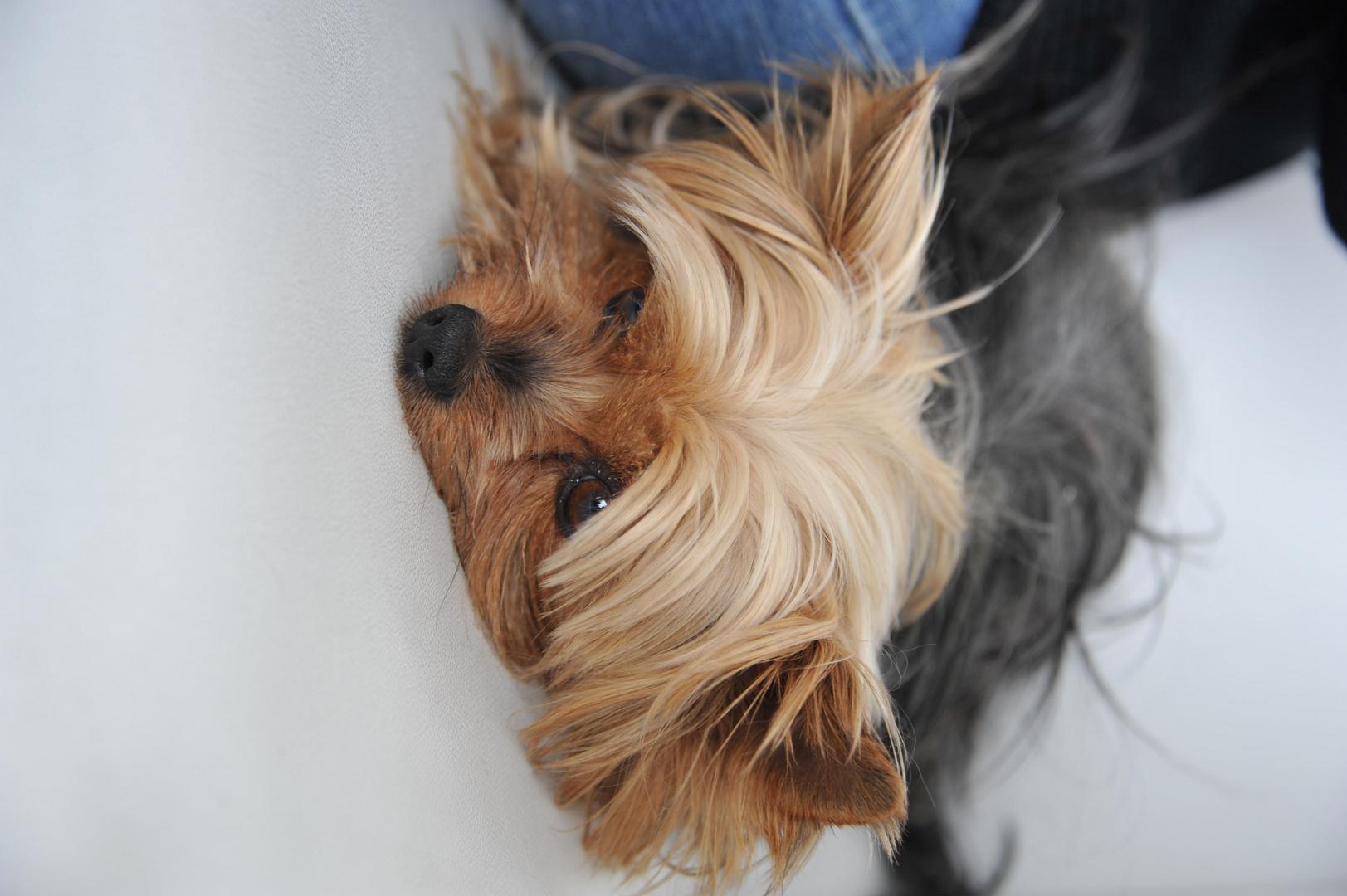 Yorkshire Terrier, Puppi,