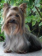 Yorkshire Terrier - Rüde