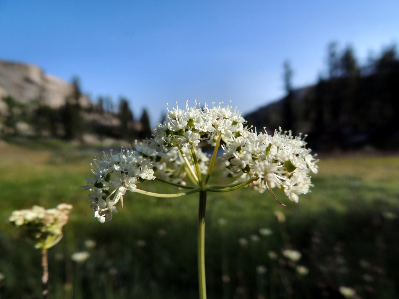 Yosemite yarrow