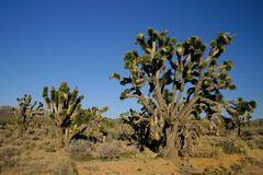 Yoshua Trees in der Mojave Wüste