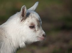 Young billy goat ...