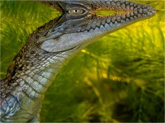 YOUNG CROC (2)