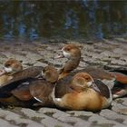 Young egyptian geese ..