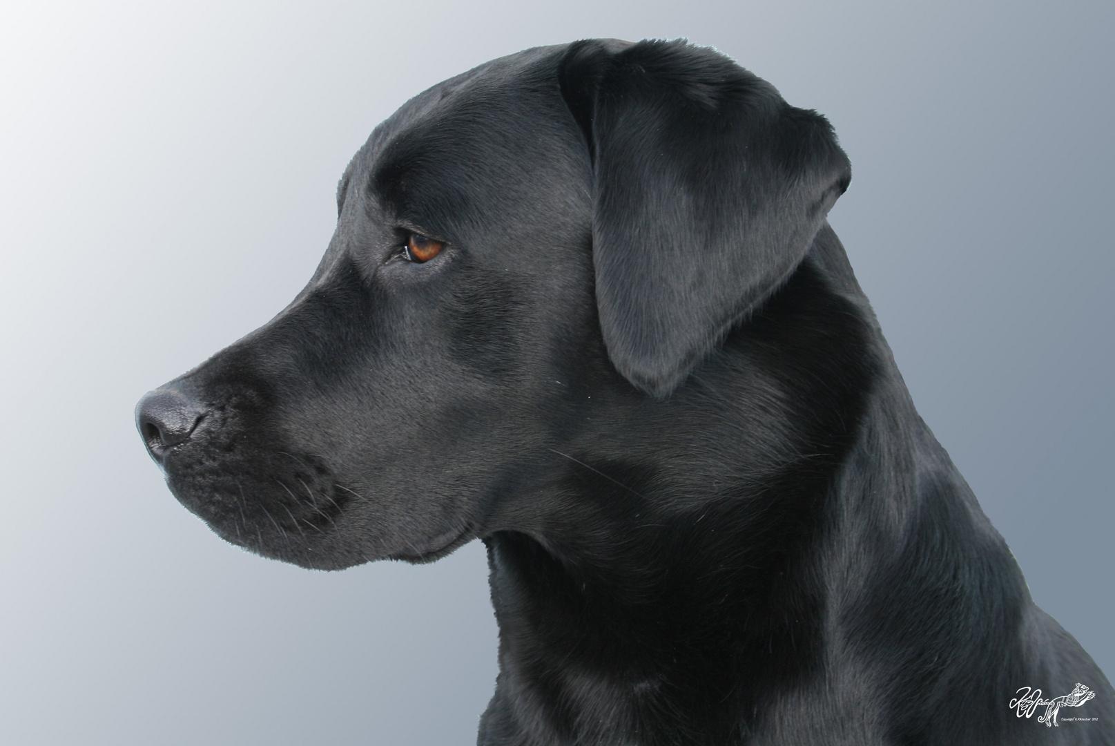 Young femal Labrador